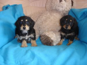 Dachshund x toy poodle puppies