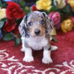 Dalmatian Dachshund mix puppies for sale