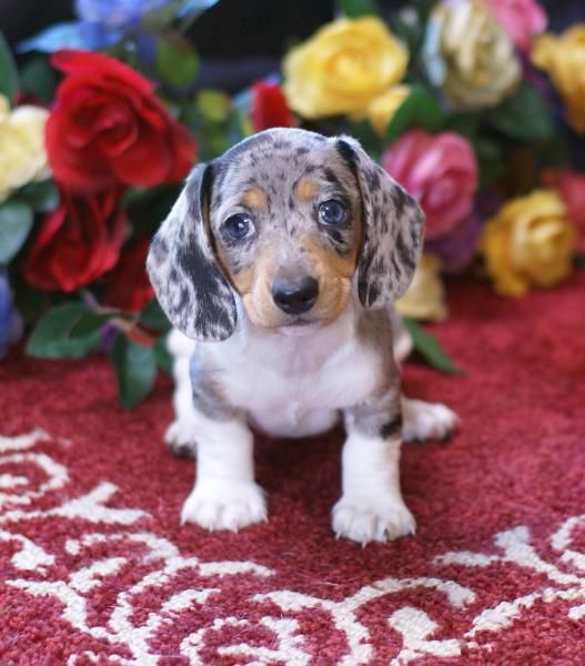 How Does A Dachshund Dalmatian Mix Dachsation Look Like Size