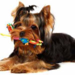 Do yorkshire terriers lose their baby teeth