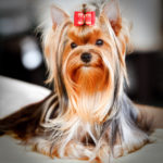 Dog grooming yorkshire terrier