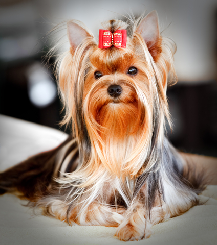 Dog grooming yorkshire terrier