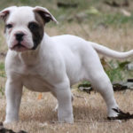 English bulldog pitbull terrier