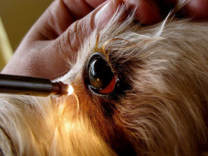 Eye problems with yorkshire terriers