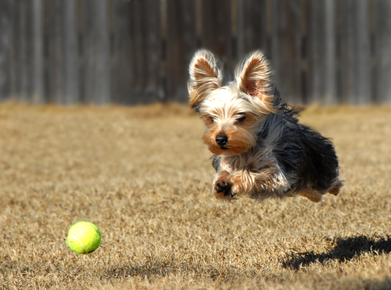 Free yorkshire terrier training