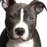 French bulldog pitbull terrier mix