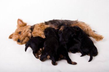 Gestation period for yorkshire terrier pregnancy