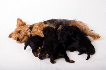 Gestation period for yorkshire terrier pregnancy
