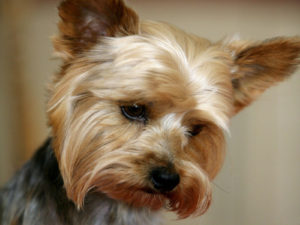 Grooming a yorkshire terrier at home