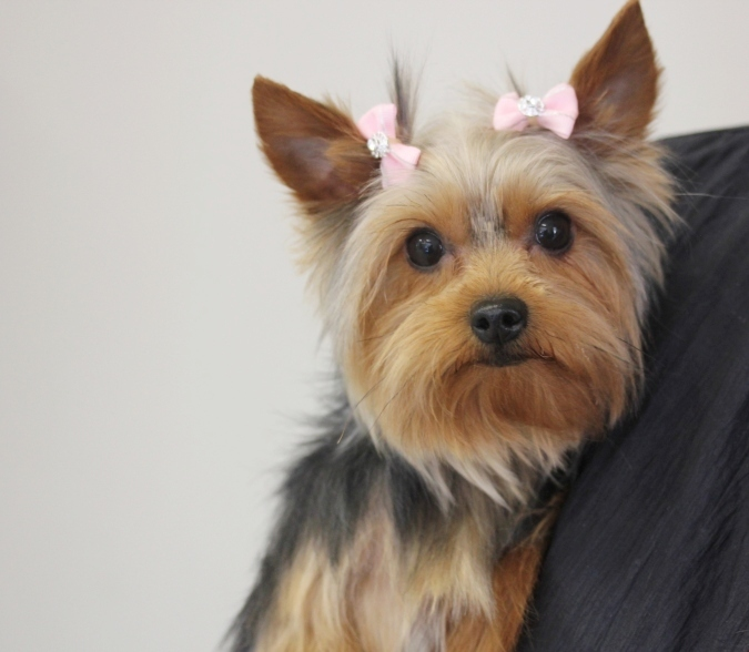 Grooming a yorkshire terrier puppy cut