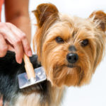 Grooming for yorkshire terrier