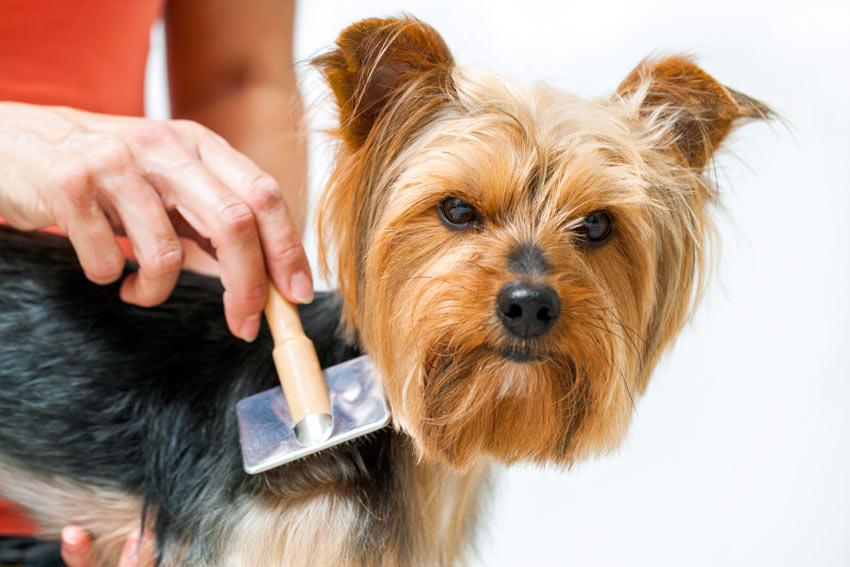 Resultado de imagen de yorkshire grooming