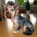 Haircuts for a yorkshire terrier
