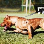 History of american pitbull terrier