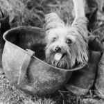 History of yorkshire terrier