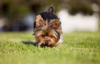 How do you potty train a Yorkshire Terrier