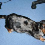 How long is a Dachshund pregnant