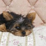 How long is a yorkshire terriers life span