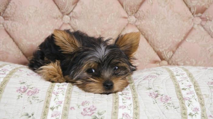 Lifespan Of A Yorkshire Terrier Care Diseases Balanced Diet