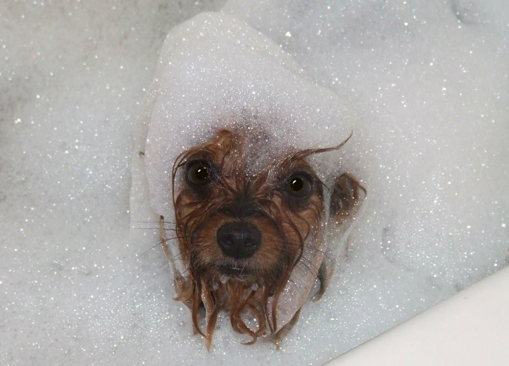 How often should you wash a yorkshire terrier