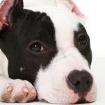 How to care for a pitbull terrier