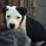 How to care for a pitbull terrier puppy