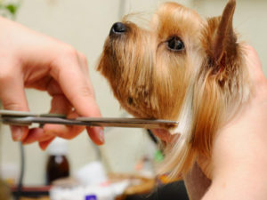 How to cut yorkshire terrier hair