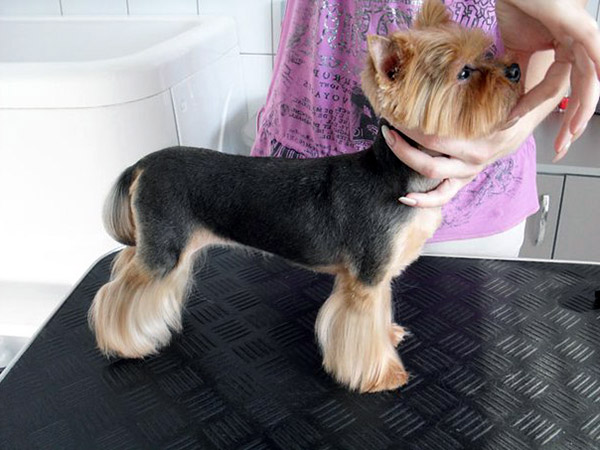 How to groom yorkshire terrier