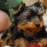 How to potty train a Yorkshire Terrier puppy