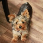 How to potty train Yorkshire Terrier