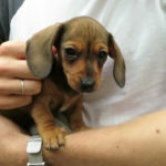 How to take care of a Dachshund puppy