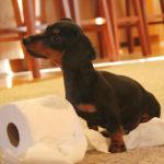 How to toilet train a Dachshund