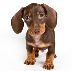 How to toilet train a Dachshund puppy