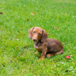 How to train a Dachshund puppy to potty outside