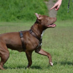 How to train pitbull terrier