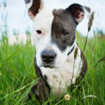 How to train your american pitbull terrier