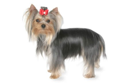 Information about yorkshire terriers