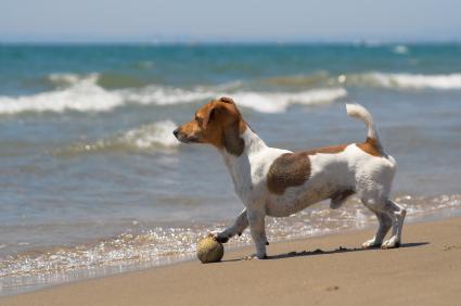 Jack russell x yorkshire terrier temperament