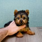 Life expectancy for a yorkshire terrier