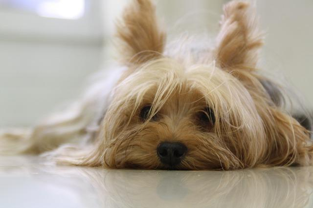 Life expectancy of yorkshire terrier