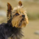 Life expectancy yorkshire terrier