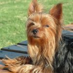Lifespan of a yorkshire terrier