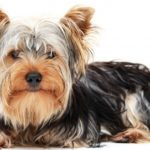 Lifespan of yorkshire terrier dogs