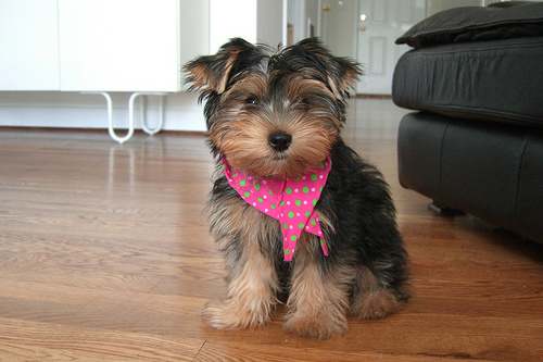 Lifespan yorkshire terrier