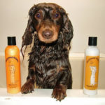 Long haired Dachshund shampoo
