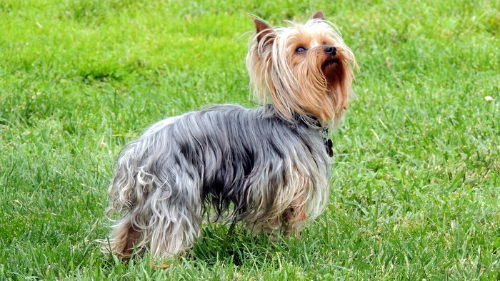 Long haired yorkshire terrier for sale