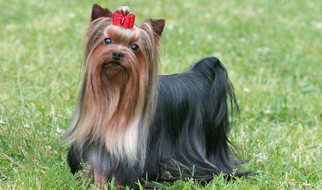 Long Haired Yorkshire Terrier 1001doggycom