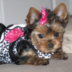 Mini yorkshire terrier temperament
