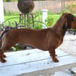 Miniature Dachshund harness size
