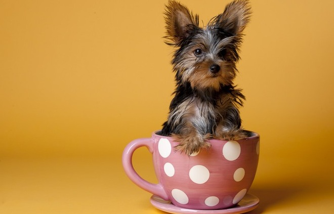 Miniature yorkshire terrier information